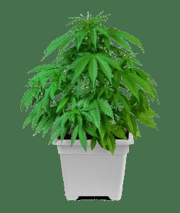 Cannabis plant in white pot